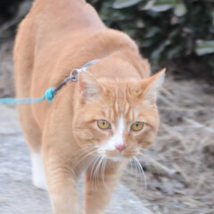 フォロー大歓迎/にゃんこ同好会/散歩/猫との暮らし/ねこのきもち/おでかけ 日が落ちて冷えてきたニャー🙀 お日様が恋…(8枚目)