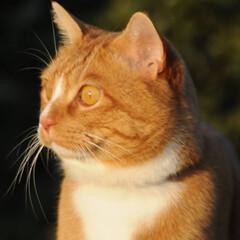 にゃんこ同好会/ねこのきもち/猫のいる暮らし/夕日/散歩/おでかけ/... 夕日の色が綺麗だニャー😻 ちょっと寂しい…