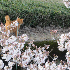 フォロー大歓迎/にゃんこ同好会/ねこにすと/ねこのきもち/春/桜/... 雨が上がったから今日も桜を見ながら散歩し…(9枚目)