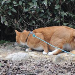 にゃんこ同好会/猫との暮らし/ねこのきもち/散歩/おでかけ まだ散歩したいニャー😿 帰らないニャー😽…(3枚目)
