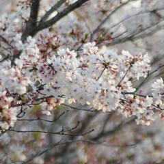 フォロー大歓迎/にゃんこ同好会/猫との暮らし/ねこにすと/ねこのきもち/春/... 🌻季節は進んでいるニャー😸(3枚目)