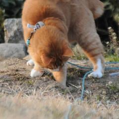 フォロー大歓迎/にゃんこ同好会/猫との暮らし/ねこのきもち/散歩/おでかけ 🙀にゃんだ⁉️ 不審物発見‼️🙀(6枚目)