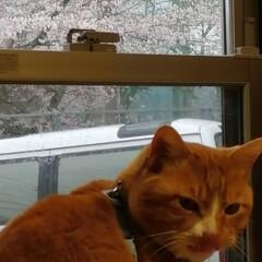 フォロー大歓迎/にゃんこ同好会/ねこのきもち/ねこにすと/桜/雨 今日は雨だにゃ😿☔ 家の中から桜を見るに…(3枚目)
