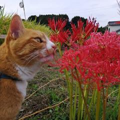 散歩/猫のいる暮らし/ねこのきもち/フォロー大歓迎 台風🌀過ぎて彼岸花も安心かにゃ😽(1枚目)