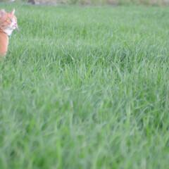 にゃんこ同好会/ねこのきもち/散歩/おでかけ/フォロー大歓迎 草いっぱいだニャー😻 ずっとあればいいの…(5枚目)