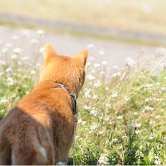 さんぽ/写真/トラ/ねこ/ねこのきもち/LIMIAペット同好会/... 今日も楽しい散歩だニャー😻😻😻(4枚目)