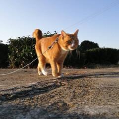 フォロー大歓迎/にゃんこ同好会/ねこのきもち/ねこ/散歩/秋 今日も張り切って散歩するニャー🐾🐾🐾😻 …(3枚目)
