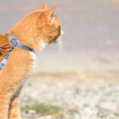さんぽ/写真/トラ/ねこ/ねこのきもち/LIMIAペット同好会/... 今日も楽しい散歩だニャー😻😻😻(8枚目)