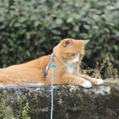 フォロー大歓迎/にゃんこ同好会/猫との暮らし/ねこにすと/ねこのきもち/散歩/... 桜が開花したニャー😻🌸🌸🌸 今日はポカポ…(8枚目)