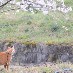 ねこのきもち/写真/ねこ/さんぽ/茶トラ/LIMIAペット同好会/... 桜がほぼほぼ満開だニャー🌸🌸🌸😻