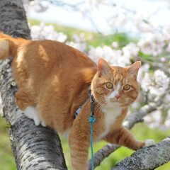 フォロー大歓迎/にゃんこ同好会/ねこにすと/ねこのきもち/晴れ/春/... 今日は天気が良くて桜も綺麗だニャー😻🌸☀…(1枚目)