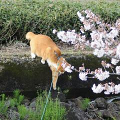 フォロー大歓迎/にゃんこ同好会/ねこにすと/ねこのきもち/春/桜/... 雨が上がったから今日も桜を見ながら散歩し…(5枚目)