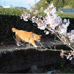 ねこのきもち/茶トラ/さんぽ/LIMIAペット同好会/フォロー大歓迎/ペット仲間募集/... 今日も桜を満喫したニャー🌸😻🌸
