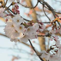 フォロー大歓迎/にゃんこ同好会/ねこのきもち/ねこにすと/さくら/散歩/... すっかり春らしい陽気になったニャー😻🌸☀…(2枚目)