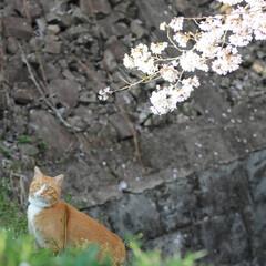 フォロー大歓迎/にゃんこ同好会/猫との暮らし/ねこのきもち/ねこにすと/散歩/... 山手の桜も咲いてるニャー🌸😻 行ってみた…(7枚目)