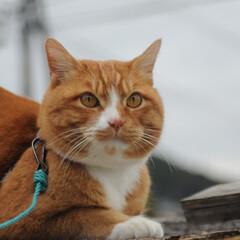にゃんこ同好会/猫との暮らし/ねこのきもち/散歩/おでかけ まだ散歩したいニャー😿 帰らないニャー😽…(9枚目)