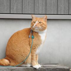 フォロー大歓迎/にゃんこ同好会/猫との暮らし/ねこのきもち/ねこにすと/雨/... 散歩行こうとしたら雨が降ってきたニャー😿…(6枚目)