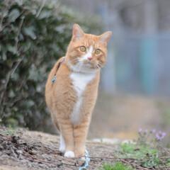 フォロー大歓迎/にゃんこ同好会/猫との暮らし/ねこのきもち/散歩/曇り空 また曇り空になっちゃったニャー😿 でも散…(5枚目)