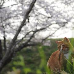 茶トラ/さんぽ/LIMIAペット同好会/フォロー大歓迎/ペット/ペット仲間募集/... 🌸春が来たニャー🌸😻😻😻(2枚目)