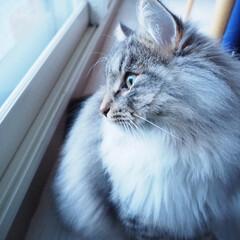 2018/フォロー大歓迎/ペット/ペット仲間募集/猫/にゃんこ同好会/... 窓の外に積もった雪を見つめてます(  ˆ…