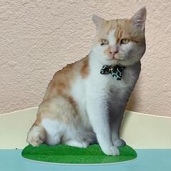 保護猫カフェ出身/保護ねこ/保護猫/うちの子/ねこカフェ/ネコカフェ/... カフェ×里親募集型保護猫×古民家 Caf…