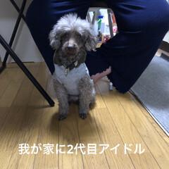 プードル/二代目アイドル/犬好きと繋がりたい/癒し 我が家に名古屋の里親さんから二代目アイド…