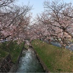 佐奈川沿い/桜満開/平成最後の一枚/春のフォト投稿キャンペーン/フォロー大歓迎/おでかけワンショット 今日朝早くに平成最後の桜🌸を撮りに行って…