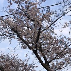桜満開/平成最後の一枚/春のフォト投稿キャンペーン/LIMIAペット同好会/フォロー大歓迎/ペット/... 土日で愛知県は桜🌸満開です。 朝犬散歩で…