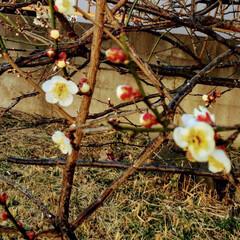 梅の花 家の庭の梅の花が ほころび始めました。 …