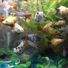 リビングあるある 熱帯魚、性格が穏やかな種類を集めて🐠