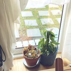 多肉植物/ポトス/スズメ/庭 お天気が良くて、スズメさんがお庭に来てい…