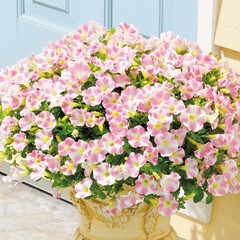 サントリーフラワーズ/サントリー/花/花壇/ガーデニング/鉢植え/... 波打つように咲きあふれる姿が印象的な《サ…