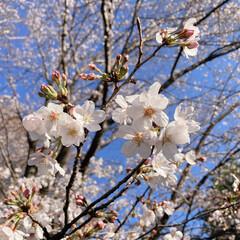 桜 黒鐘公園🌸(5枚目)