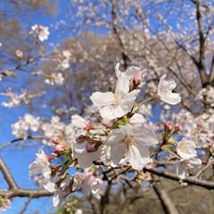 桜 黒鐘公園🌸(3枚目)
