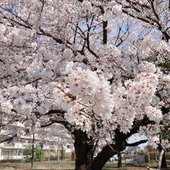 桜 近所のグランド🌸(5枚目)