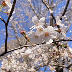 桜 黒鐘公園🌸(4枚目)