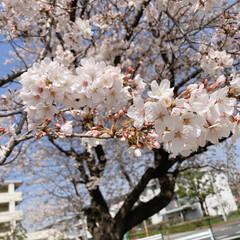桜 近所のグランド🌸(2枚目)