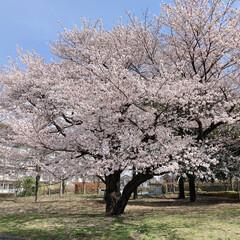 桜 近所のグランド🌸(3枚目)