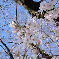 桜 黒鐘公園🌸(6枚目)