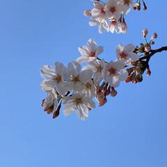 桜 黒鐘公園🌸(2枚目)