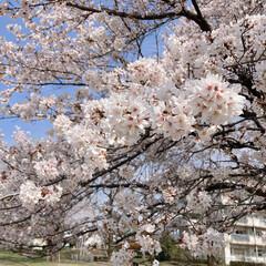 桜 近所のグランド🌸(4枚目)