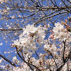 桜 黒鐘公園🌸(1枚目)