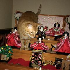 ネコ好き/ひな祭り/茶トラ/猫 今年もうちのトラはひな壇に登りました(ー…(1枚目)