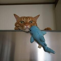 茶トラ/ペット/猫/にゃんこ同好会/わたしのお気に入り 冷蔵庫の上あったか〜い♪ トラのお気に入…