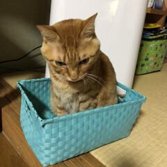 茶トラ/LIMIAペット同好会/にゃんこ同好会/うちの子ベストショット 箱入り息子??😸