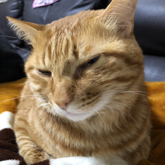 茶トラ/猫 昼寝のじゃまされてすごく嫌そう、、、完全…
