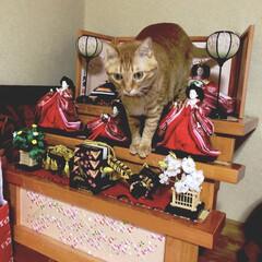 猫/ネコ好き/茶トラ/ひな祭り/ピンク 今日はひな祭りですが、毎年恒例のようにう…