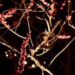 カメラ女子/ライトアップ/梅花祭/北野天満宮/京都/LIMIAおでかけ部/... 日没後はキャンドルに火が灯されて、幻想的…