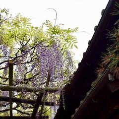 藤棚/長岡天満宮/京都/令和の一枚/フォロー大歓迎/LIMIAファンクラブ/...