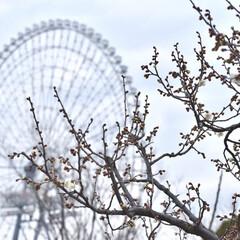 観覧車/梅/デート/大阪/LIMIAおでかけ部/フォロー大歓迎/... 万博記念公園の梅の撮影もしてきました📸